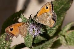 Duo (clamar18) Tags: butterffly amaryllis nature macro mérysurcher papillon insecte vierzon france jardin