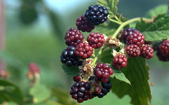 Bramble Blackberry - Mora di rovo (Rubus fruticosus) (by emmeci) Tags: rubusfruticosus brambleblackberry moradirovo luglio parcodimonza cascinafrutteto