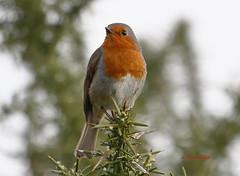 Petirrojo, Erithacus rubecula (Julian Munilla Rio) Tags: aves pajaros
