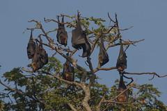 Vliegende vos - Indian flying fox (marcdeceuninck) Tags: srilanka nature vliegendevos zoogdieren mammals indianflyingfox