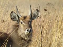 The Smile  ( Waterbuck / Waterbok ) (Pixi2011) Tags: antelope rietvleinaturereserve southafrica africa wildlifeafrica wildlife wildanimals animals nature