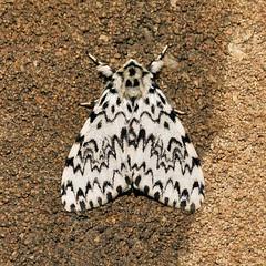 Black Arches ... Lymantria monacha (AndyorDij) Tags: blackarches lymantriamonacha eribidae lepidoptera andrewdejardin england empingham empinghammoths rutland uk unitedkingdom nationalmothweek insect moth