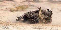Dust bathing Ostrich - Struisvogel - Struthio camelus! (Jambo53 ()) Tags: struisvogel ostrich struthiocamelus kgalagaditransfrontierpark southafrica crobertkok nikond800 nikon500mmf4 action