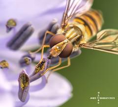 Hover on Agapanthus (John Chorley) Tags: hoverfly hover agapanthus macro macros macrophotography nature closeup closeups johnchorley garden 2019 insects fly