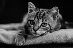 """""""Portrait de Pégaze"""" (leguen.maxime) Tags: animal chat pégaze gouttière bébé portrait mignon photo regard"""