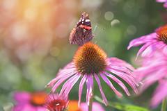 Sunbathing.... (KissThePixel) Tags: tortoiseshellbutterfly butterfly butterflies bokeh bokehlicious sunlight light echinacea flower longacremanor garden home nikon