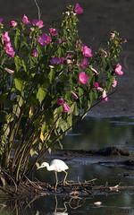 07271944193asmweb (ecwillet) Tags: nikon nikond800e nikon500mmf4 ecwillet ericwillet littleblueheron heron hibiscus flora