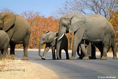 Pedestrian Crossing (leendert3) Tags: leonmolenaar southafrica krugernationalpark naturereserve wildlife wilderness wildanimal nature naturalhabitat mammals africanelephant coth5 ngc