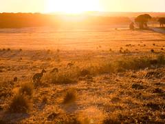 There was a time (FlavioSarescia) Tags: animals australien kangarooisland summer sunset hss sunlight australia travel kangaroos roadtrip landscape nature sky