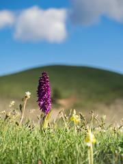près du Cham des Bondons (penelope64) Tags: lozère olympusem1 france cévennes fleur nature