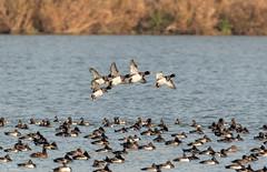 Tufted Duck Arrivals (Steve (Hooky) Waddingham) Tags: animal countryside nature bird british duck flight rutland water