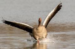 Splash Down (Steve (Hooky) Waddingham) Tags: stevenwaddinghamphotography animal countryside nature bird british duck flight rutland water