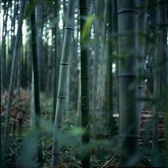 🌱 (comeondimon) Tags: velvia 100f film expired japan bamboo forest tree kyoto