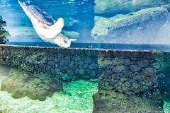 Un centre de soins pour tortues marines a ouvert ses portes à Monaco - 1L8A9453 (jmlpyt) Tags: monaco monégasque tortue turtle refuge marine protection nature beauté de la environnement cmsem musée museum océan ocean océanographique côte dazur cote france monte carlo jmlpyt photography plastique plastic prince albert sea