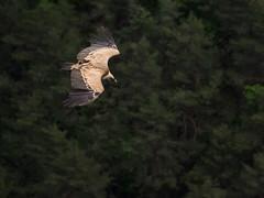 Vautour (penelope64) Tags: lozère olympusem1 france cévennes oiseau vautour nature