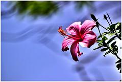 Pretty Hibiscus! (SHAN DUTTA) Tags: hibiscus pink nikon nikond5300