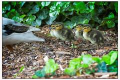 012 0202 (Copy)c - Quackers.... (Antirrhinum) Tags: wwtbarnes londonwetland london barnes duckling duck
