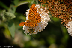 Schmetterling / Butterfly (R.O. - Fotografie) Tags: schmetterling butterfly nahaufnahme closeup close up rofotografie panasonic lumix dmcgx8 dmc gx8 gx 8 mft micro four thirds leica 100400mm bokeh natur nature outside outdoor