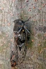 164957 (EricS2009 Photo) Tags: cigale sud soleil arbre noir orange aile oeil patte mue imaginale