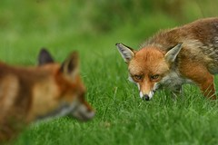 The look of the Alpha (Paul wrights reserved) Tags: fox foxes mammals look looking animals animal mammal bokeh focus foreground composition