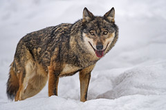 Wolf standing in the snow and looking at me (Tambako the Jaguar) Tags: wolf canid canine standing portrait face tongue funny smiling snow winter cold siky park zoo crémines switzerland nikon d5