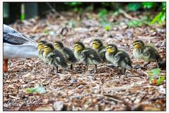 013 0205 (Copy)c - Quackers.... (Antirrhinum) Tags: wwtbarnes londonwetland london barnes duckling duck
