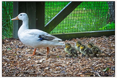 014 0209 (Copy)c - Quack (Antirrhinum) Tags: wwtbarnes londonwetland london barnes duck