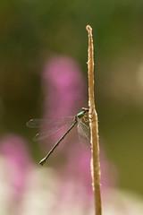 Libellule (pictopix) Tags: macro nikond610 sigma150mmmacro couleur ptérostygma ailes jaune water eau mare été insecte bug verdoyant agrion green vert dragonfly libellule nikon d610