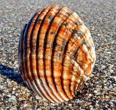 Herzmuschel (anubishubi) Tags: nikoncoolpixs9900 andalusien fuengirola beach costadelsol muschel herzmuschel seashell
