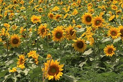 Happy Sun-day (Jan Nagalski) Tags: sun sunflower sunday bright yellow beauty flower gardenflower agriculture sunflowerfield farm summer yuba michigan jannagalski jannagal