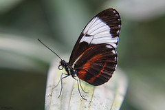 Heliconius cydno~ (sheiramirez) Tags: butterfly wings wildlife macro closeup plant animal lepidoptera catterpillar heliconius cydno insect
