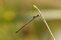 Libellule (pictopix) Tags: macro nikond610 sigma150mmmacro couleur libellule dragonfly vert green agrion verdoyant bug insecte été mare eau water jaune ailes ptérostygma
