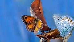 orange blue Complementary Colours - 7186 (✵ΨᗩSᗰIᘉᗴ HᗴᘉS✵70 000 000 THXS) Tags: complementarycolours hmm blueorange color butterfly papillon duo two deux macro macromondays sony sonydscrx10m4 hensyasmine