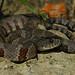 Northern Watersnake (Nerodia sipedon sipedon)