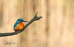 Common Kingfisher (Alcedo atthis)! (Jambo53 ()) Tags: alcedoatthis nikond800 crobertkok