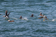 Puffins (deltic17) Tags: bempton flamboroughhead sea bird puffins rspb canon roughsea photography