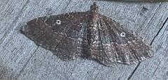 Orthonama obstipata - The Gem - Hodges#7414 (Stylurus) Tags: michigan lodi township prairie oaks moth orthonama obstipata the gem hodges7414