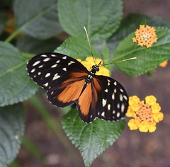 Tiger Longwing Butterfly (MJ Harbey) Tags: butterfly heliconiushecale tigerlongwingbutterfly hecalelongwing goldenlongwing goldenheliconian insect lepidoptera nymphalidae heliconius zsl whipsnade zoo zslwhipsnade whipsnadezoo zslwhipsnadezoo butterflyhouse nikon d3300 nikond3300