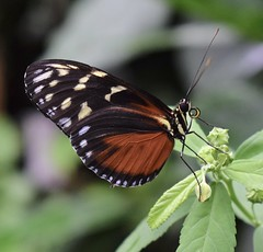 Tiger Longwing Butterfly (MJ Harbey) Tags: butterfly heliconiushecale tigerlongwing hecalelongwing goldenlongwing goldenheliconian insect lepidoptera nymphalidae heliconius zsl whipsnade zoo zslwhipsnade whipsnadezoo zslwhipsnadezoo bedfordshire butterflyhouse nikon d3300 nikond3300