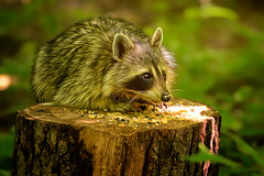 Need Food (Goromo) Tags: raccoon woods dappledlight lateafternoonsun food seed stump parenting workinghard summer mother