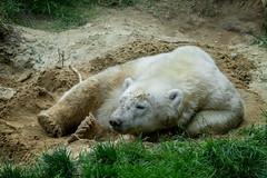 Eisbär oder Sandbär 😊 (Jutta Achrainer) Tags: achrainerjutta sonyrx10iv tierparkhellabrunn münchen eisbär polarbaer quintana zoo polarbear