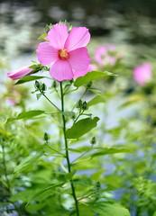 Pink Hibiscus (WilliamND4) Tags: hibiscus flower pink plant fresh beautiful nikon d810