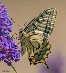 Swallowtail... (Jeff Lack Wildlife&Nature) Tags: swallowtail swallowtailbutterfly butterflies butterfly lepidoptera insects insect wildlife wetlands wildlifephotography jefflackphotography marshland marshes meadows macro naturephotography nature norfolk countryside copse glades grasslands nikon nectaring wildflowers hedgerows
