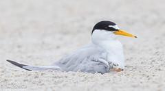 Shhhh,,,baby's sleeping (NorthShoreTina) Tags: tern leasttern ternchick