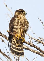 Merlin (Boganeer) Tags: merlin falcon falco falcocolumbarius raptor bird birdofprey feathers wet plumage perch avian animal nature novascotia nouvelleecosse canon canont3i canoneos canonrebelt3i canon600d