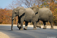 Hurry up.........!!! (leendert3) Tags: leonmolenaar southafrica krugernationalpark naturereserve wildlife wilderness wildanimal nature naturalhabitat mammal africanelephant