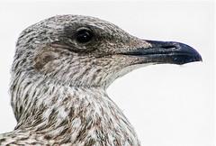Juvenile gull (Gill Stafford) Tags: gillstafford gillys image photograph wales northwales conwy herringgull gull herringull fledgling portrait head
