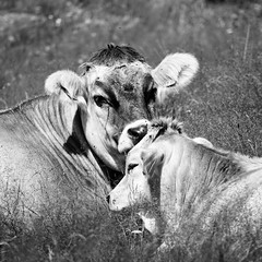 Cow mother with calf (askomsoy) Tags: cow animal monocrom