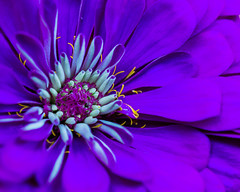 """Purple with a Touch of Yellow (risaclics) Tags: macro mondays complementary colors magenta purple yellow 60mmmacro august2019 nikond610 bloom bloosom flora flowrs stamen """"complementarycolours"""" macromondays complementarycolors crazytuesday"""