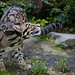Clouded leopard looking up